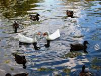 White ducks surrounded