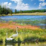 """swans and summer flowers at the madison river"" by rchristophervest"