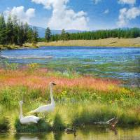 swans and summer flowers at the madison river Art Prints & Posters by r christopher vest