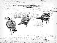 Wild Turkeys in Snowy Field ~ Black and White
