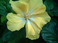 Yellow Hibiscus 2