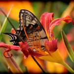 """Eastern Tiger Swallowtail in Daylily"" by KsWorldArt"