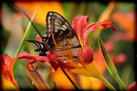 Eastern Tiger Swallowtail in Daylily