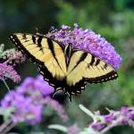 """Eastern Tiger Swallowtail Butterfly on Buddleia"" by KsWorldArt"