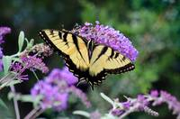 Eastern Tiger Swallowtail Butterfly on Buddleia