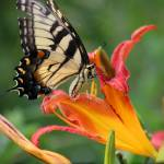 """Eastern Tiger Swallowtail Butterfly on Daylily"" by KsWorldArt"