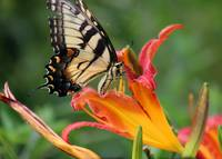 Eastern Tiger Swallowtail Butterfly on Daylily
