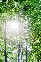 The Sun Shines Through Bamboo