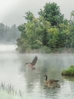 Geese on Misty Lake
