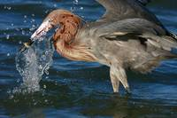 REDDISH EGRET SPLASH AND CATCH