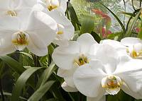 White Orchids2