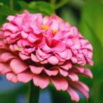 """Pretty Pink Zinnia Flower Picture"" by PhotographsByCarolFAustin"