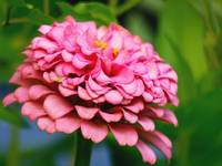 Pretty Pink Zinnia Garden Flower Picture