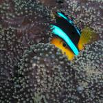 """Clownfish eye Palau 8-14-04"" by SapphireSeas"