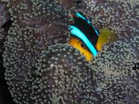 Clownfish eye Palau 8-14-04
