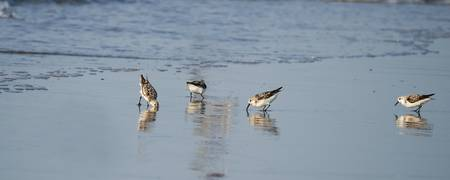 Sandpipers  #761