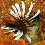 """Lionfish 1 3-14-15 Cat Island (1 of 1)"" by SapphireSeas"