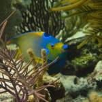 """Queen Angelfish Face Cat Island 8-8-13-2"" by SapphireSeas"