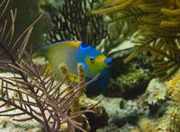 Queen Angelfish Face Cat Island 8-8-13-2