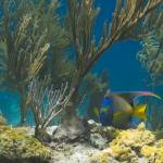 """Queen Angelfish 20 Cat Island 8-6-13-1-2"" by SapphireSeas"