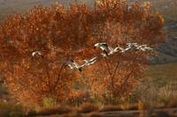 SNOW GEESE IN COTTONWOODS