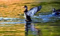 WOOD DUCK BLASTOFF