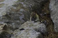 Chipmunk Playing Hide In Seek