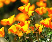 Kernville Poppies