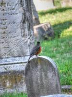 Baltimore Oriole at St Mary in Hampden