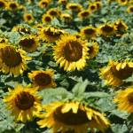 """Sunflowers"" by LouiseReeves"