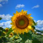"""Sunflower"" by LouiseReeves"
