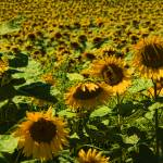 """A Field of Yellow and Green"" by LouiseReeves"
