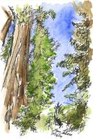 The Majestic Redwoods3 4X6