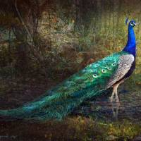 jungle peacock portrait Art Prints & Posters by r christopher vest
