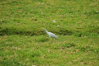 Cattle Egret Walking in a Field