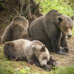 """Mama Brown Bear and Her Sleepy Cubs"" by SederquistPhotography"