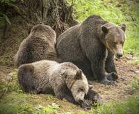 Mama Brown Bear and Her Sleepy Cubs