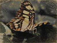 North American butterbly