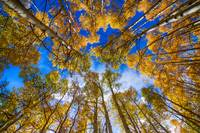 Colorful Aspen Forest Canopy