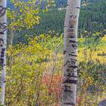 """Carved Names and Initials in Autumn Aspen Trees"" by lightningman"