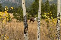 Beautiful Horse Through The Aspen Trees Trunks