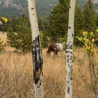 """Beautiful Horse Through The Aspen Trees Trunks"" by James ""BO"" Insogna"