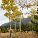 """Beautiful Horse Autumn Aspen Trees Grove Grazing"" by lightningman"