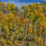 """Autumn Aspen Tree Forest Layers Of Colors"" by lightningman"