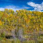 """Layers of Colors of an Aspen Tree Forest"" by lightningman"