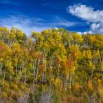 """Layers of Colors of an Aspen Tree Forest Panorama"" by lightningman"