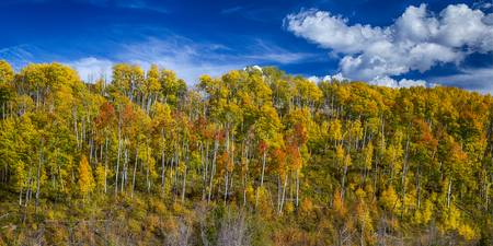 Layers of Colors of an Aspen Tree Forest Panorama