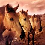 """Wild Konik Horses"" by AnneVis"