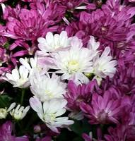 White & Purple Mums Square