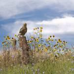 Hawk in Field of Wildflowers